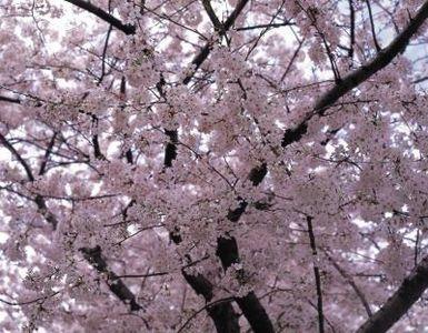 How High Should I Prune My Yoshino Cherry Tree Purple Leaf Sand Cherry Yoshino Cherry Tree Flowering Cherry Tree