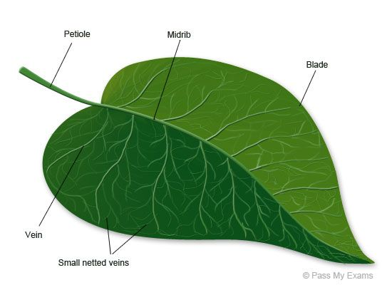 The Structure Of A Leaf Leaves Leaf Structure Biology For Kids