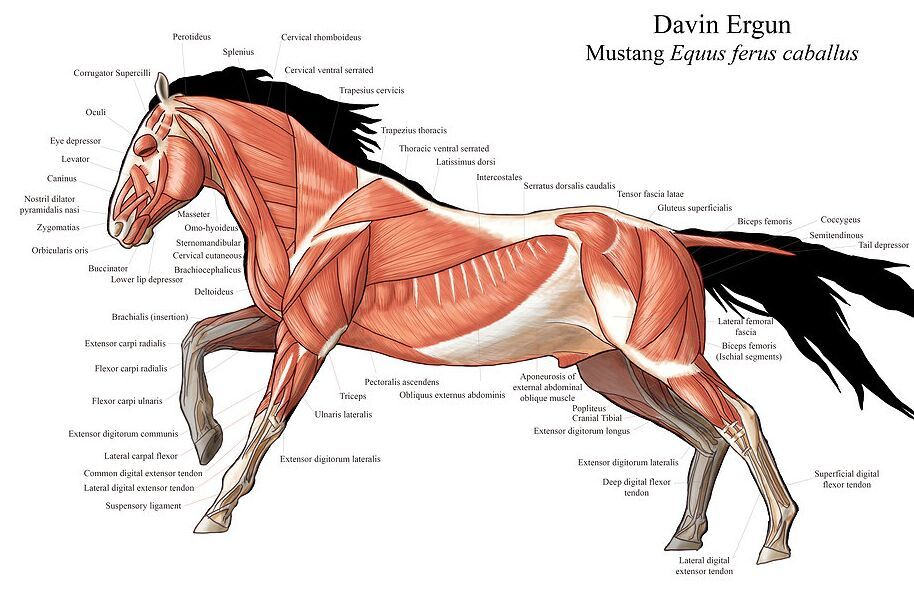 Image Result For Muscle Anatomy Of A Horse Horse Anatomy