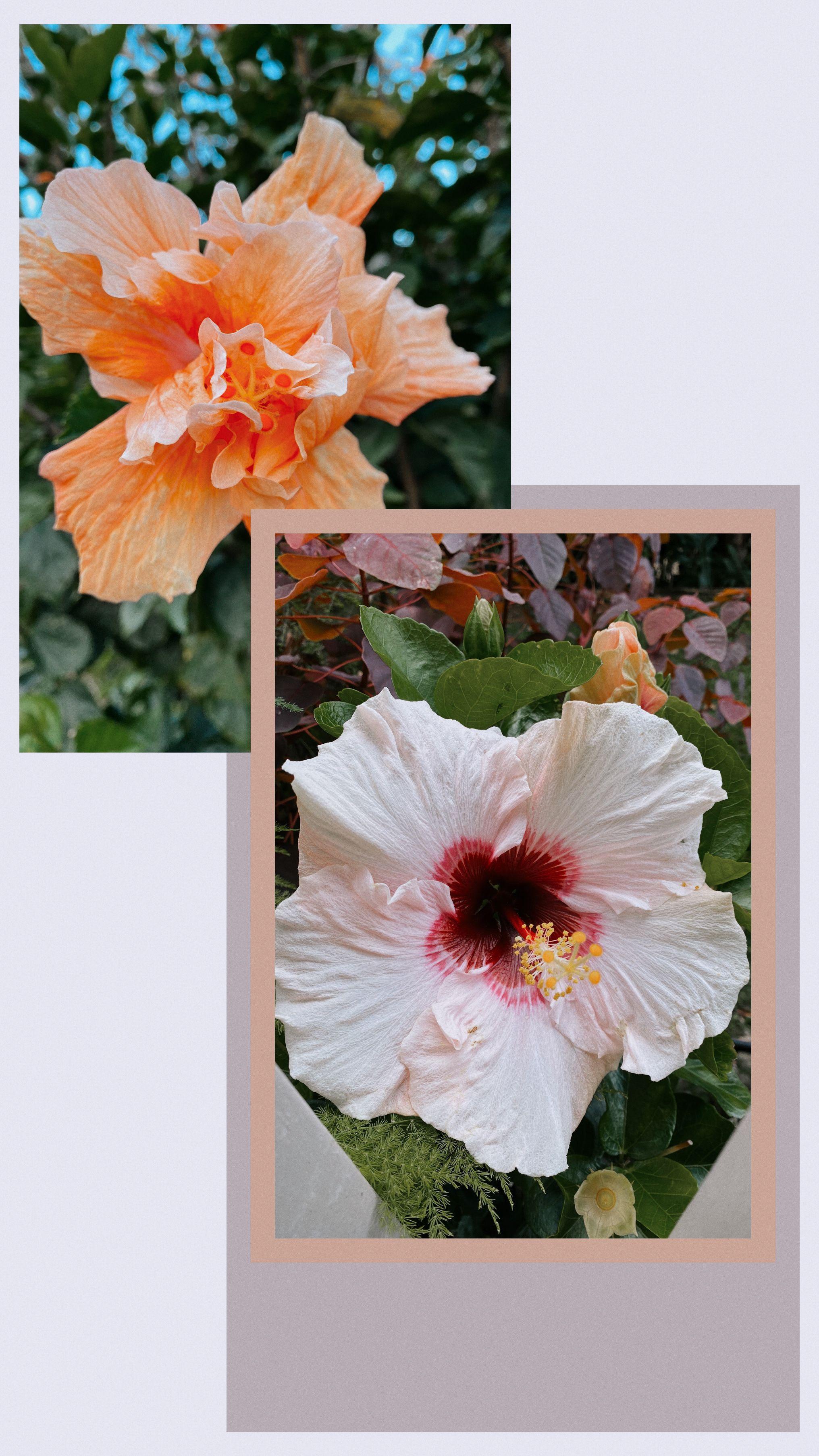 Hibiscus strolls in 2020 hibiscus flowers plants