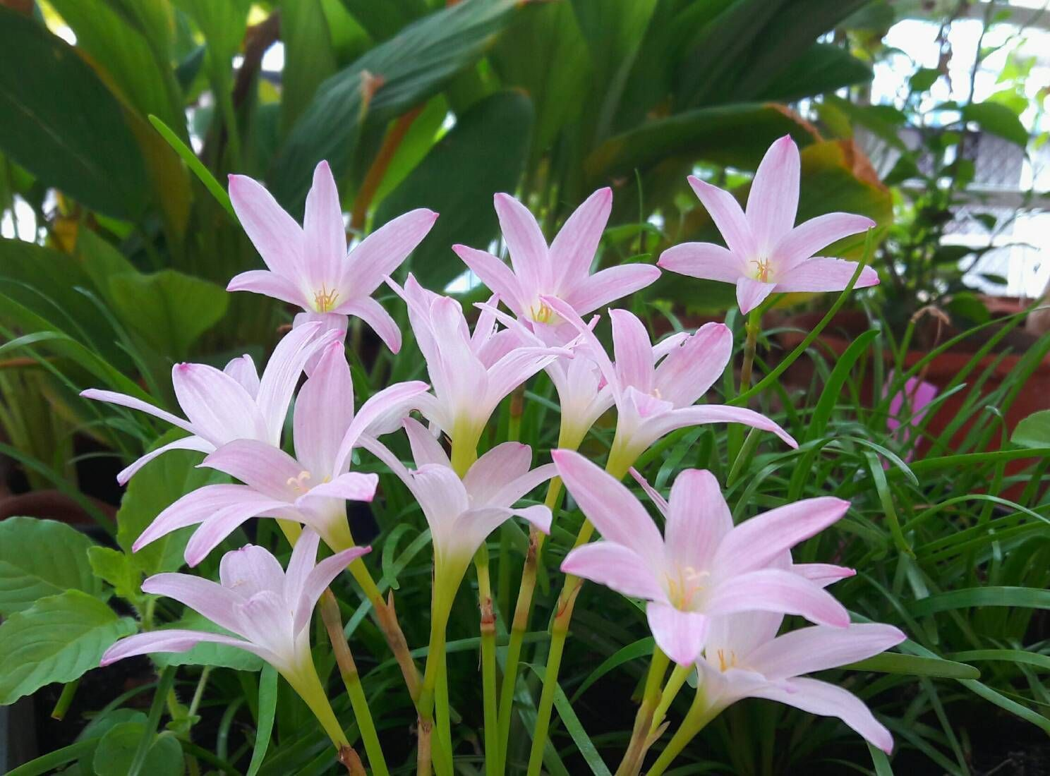 Rain lily bulb zephyranthes first love fairy lily magic lily rain lily bulb zephyranthes first love fairy lily magic lily flowering size ebay izmirmasajfo