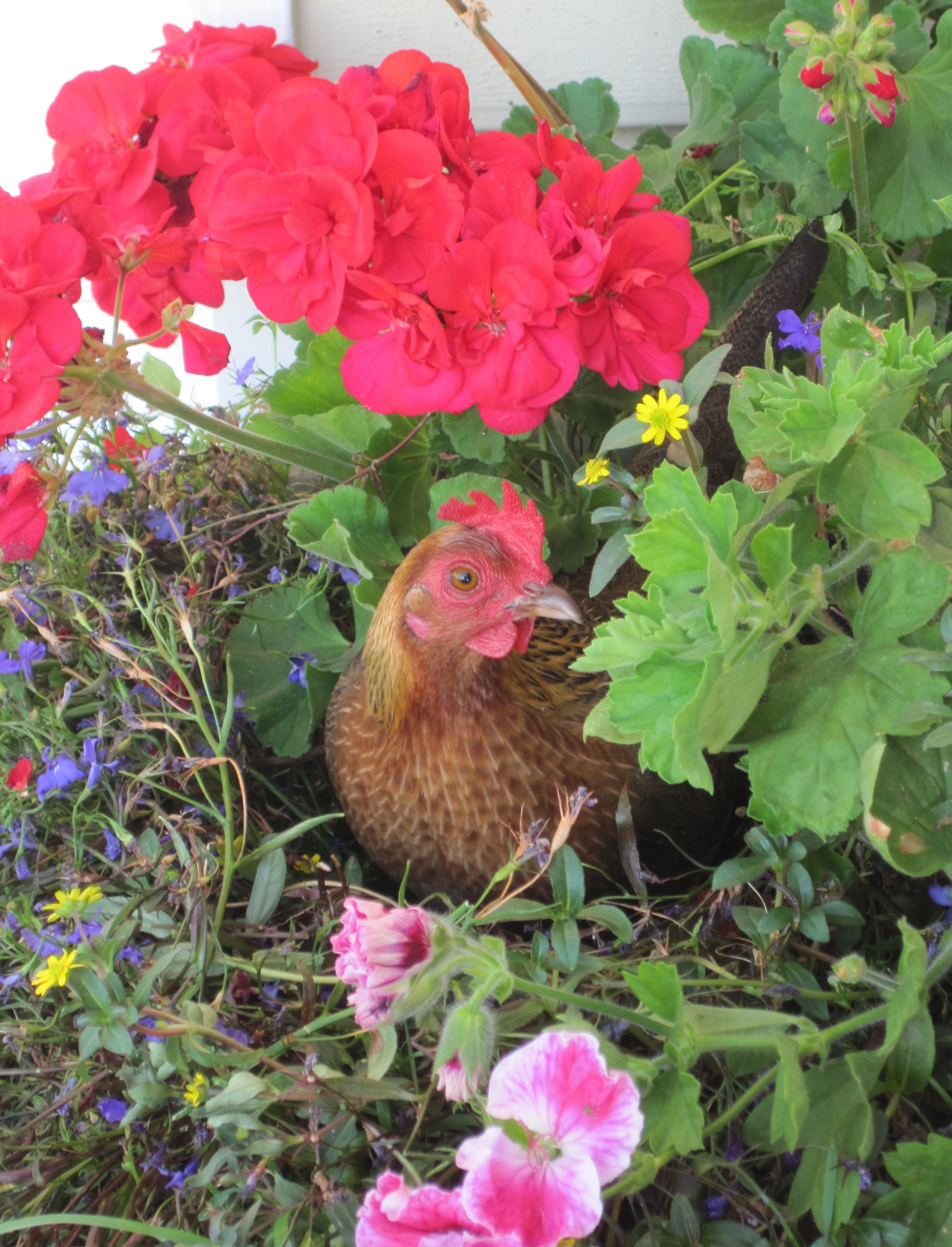 Banty chicken hen in a pot she was trying to nest there