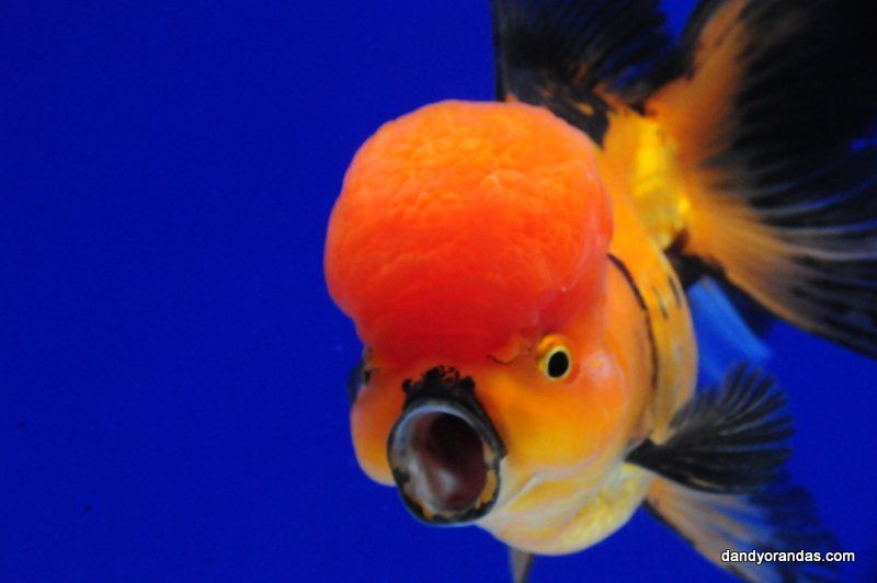 Red Black Oranda Dandyorandas Com Betta Fish Types Aquarium Fish Oranda Goldfish
