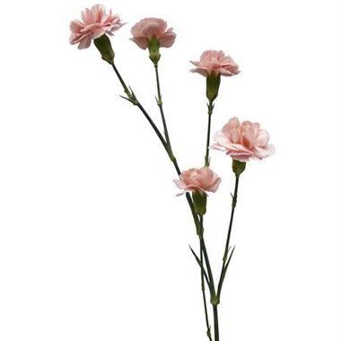 Carnation Spr Bubblegum Pink 50 Carnations Pink Wedding Flowers Wholesale Flowers