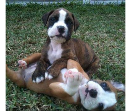 American Bulldog Puppies Because Who Doesn T Love Puppies