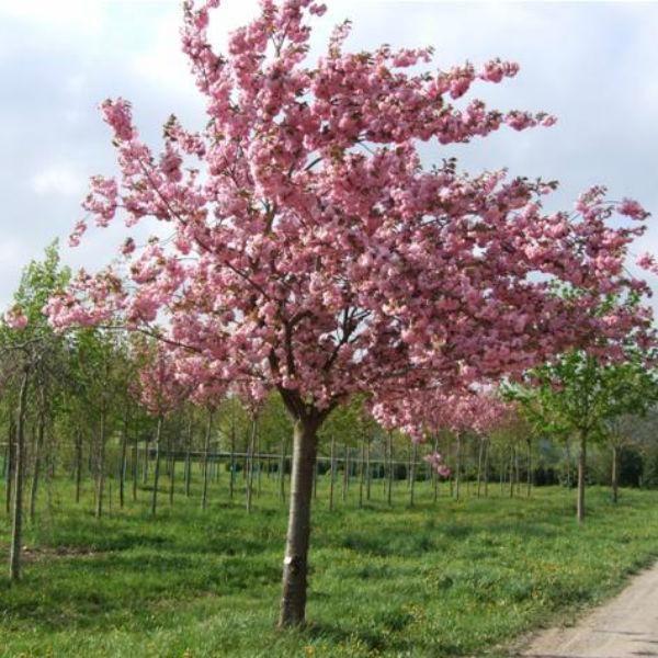 Znalezione Obrazy Dla Zapytania Prunus Kanzan Prunus Serrulata Cherry Trees Garden Prunus
