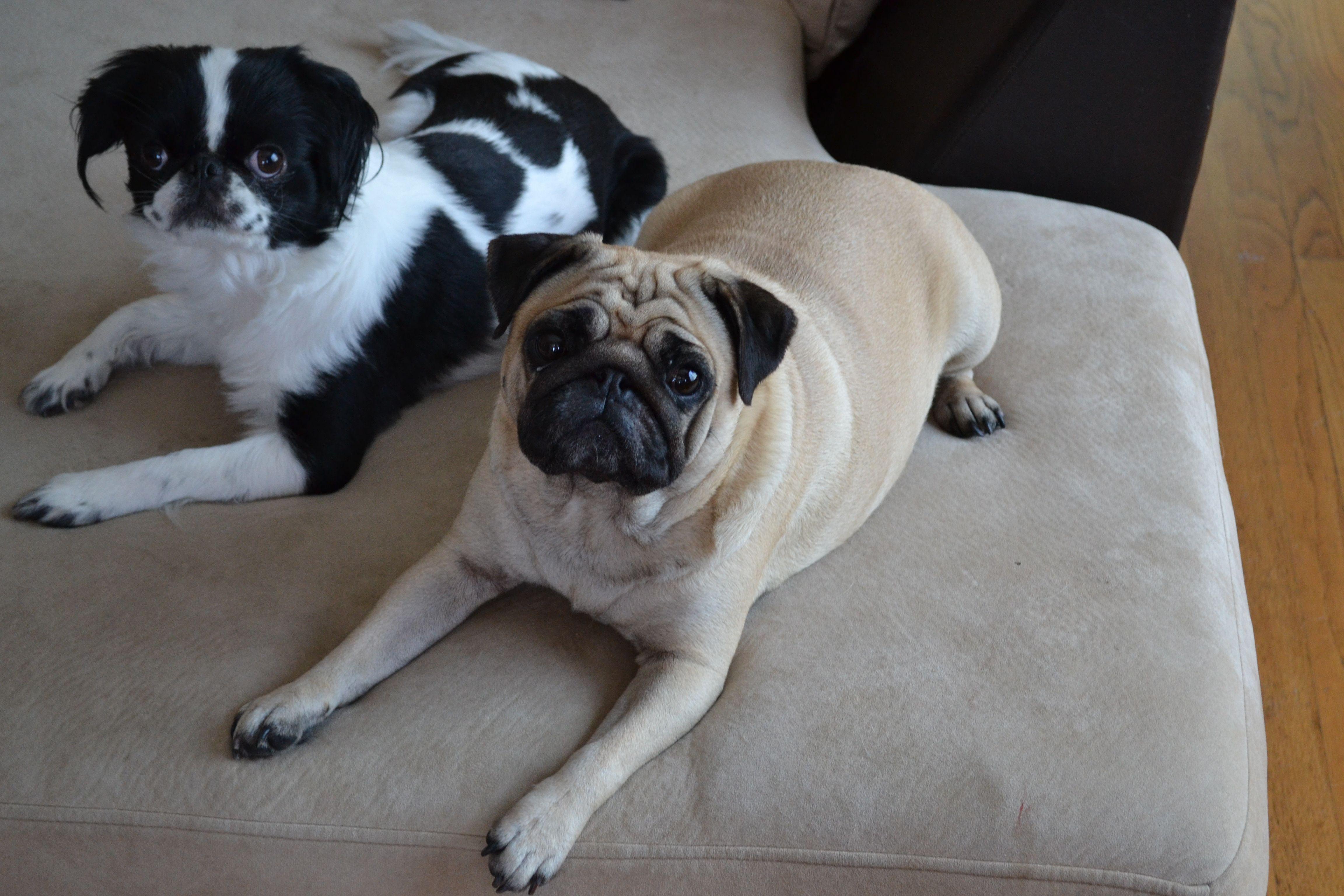A Japanese Chin And Pug Japanese Chin Pet Pug Pugs