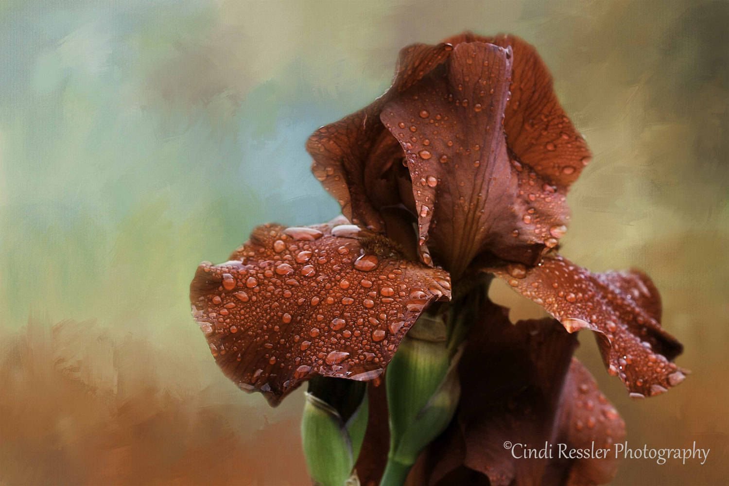 Iris, Bearded Iris, Flower Photography, Floral Photography, Photography, Garden Photography, Fine Art Photography, Botanical, Floral Art is part of garden Photography Art - CindiRessler ~~~~~~~~~~~~~~~~~~~~~~~~~~ Copyright 2018 Cindi Ressler Photography  All rights reserved
