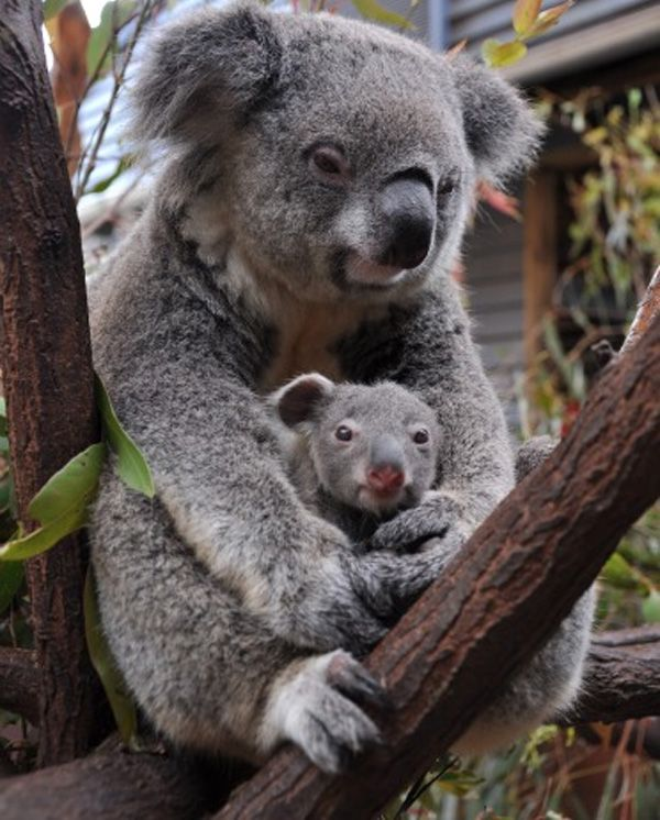 baby koala - Yahoo Search Results | Animals | Pinterest ...