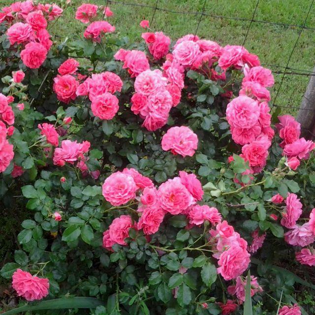 Pink Rose Bush Rose Bush Flowers Butterfly Garden