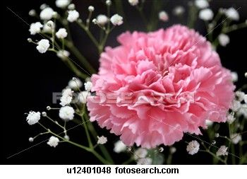 Close Up Carnation Stock Photo U12401048 Carnations Flowers Pink Carnations