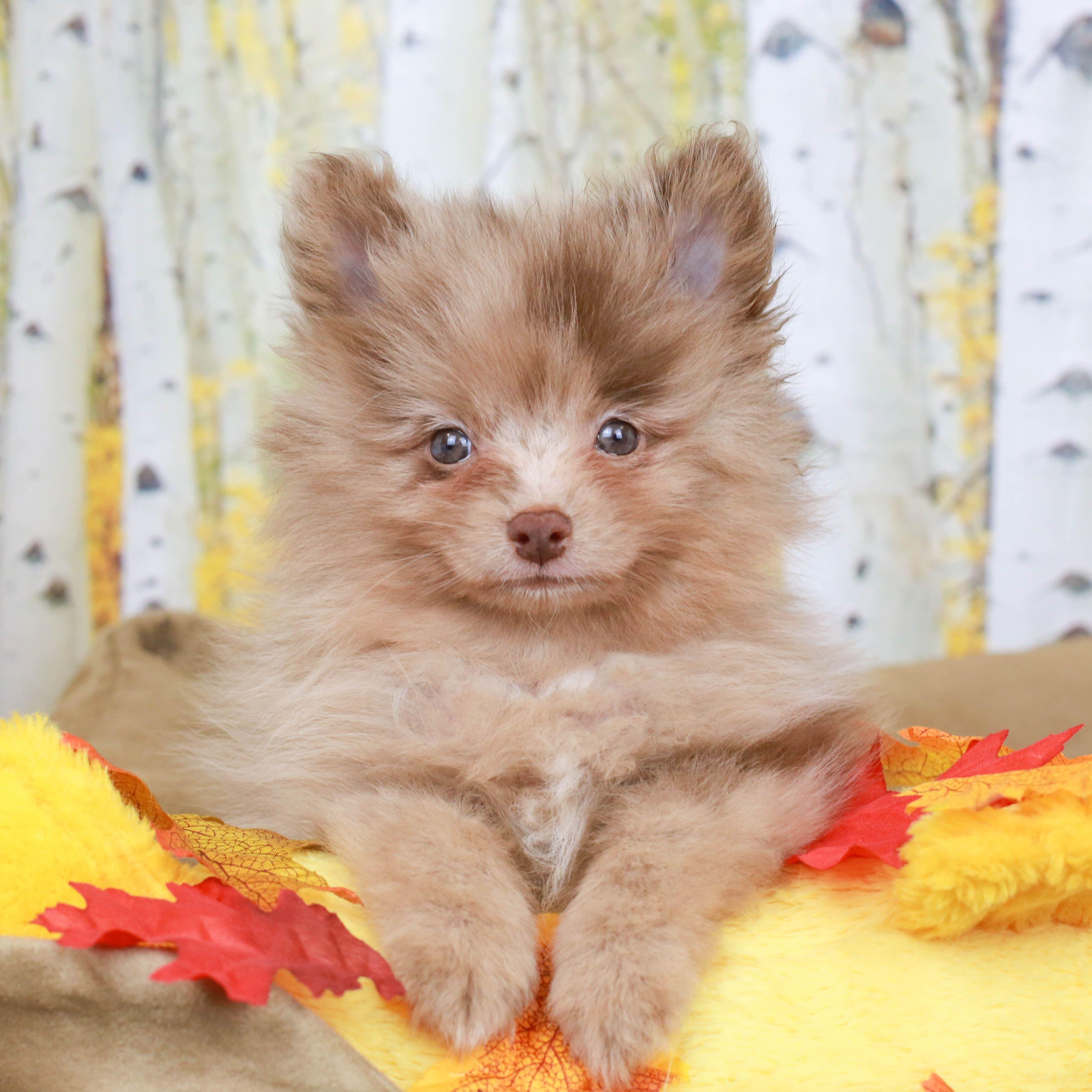 Pomeranian Puppy Pomeranian Puppy For Sale Pomeranian Puppy