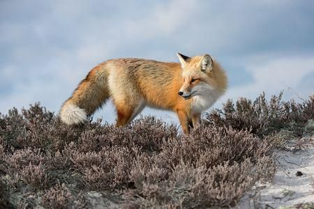 Red Fox Photo by Mitch Adolph — National Geographic Your Shot