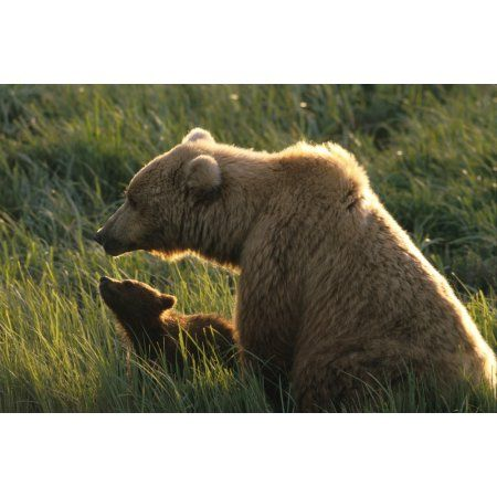 Brown Bear And Cub In Grass Mcneil River Game Sanctuary Canvas Art - Michael DeYoung Design Pics (17 x 11)