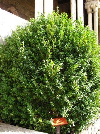 Types of Deciduous and Evergreen Shrubs and Bushes