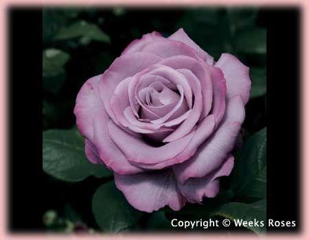 Devine Fragrance Rosa Hybrid Tea Neptune Via Regan Nursery Rose A Fragrant Addition To Your Garden