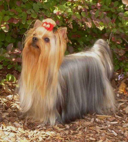 Heavenly Yorkshire Terrier Yorkie Terrier Yorkshire Terrier Puppies