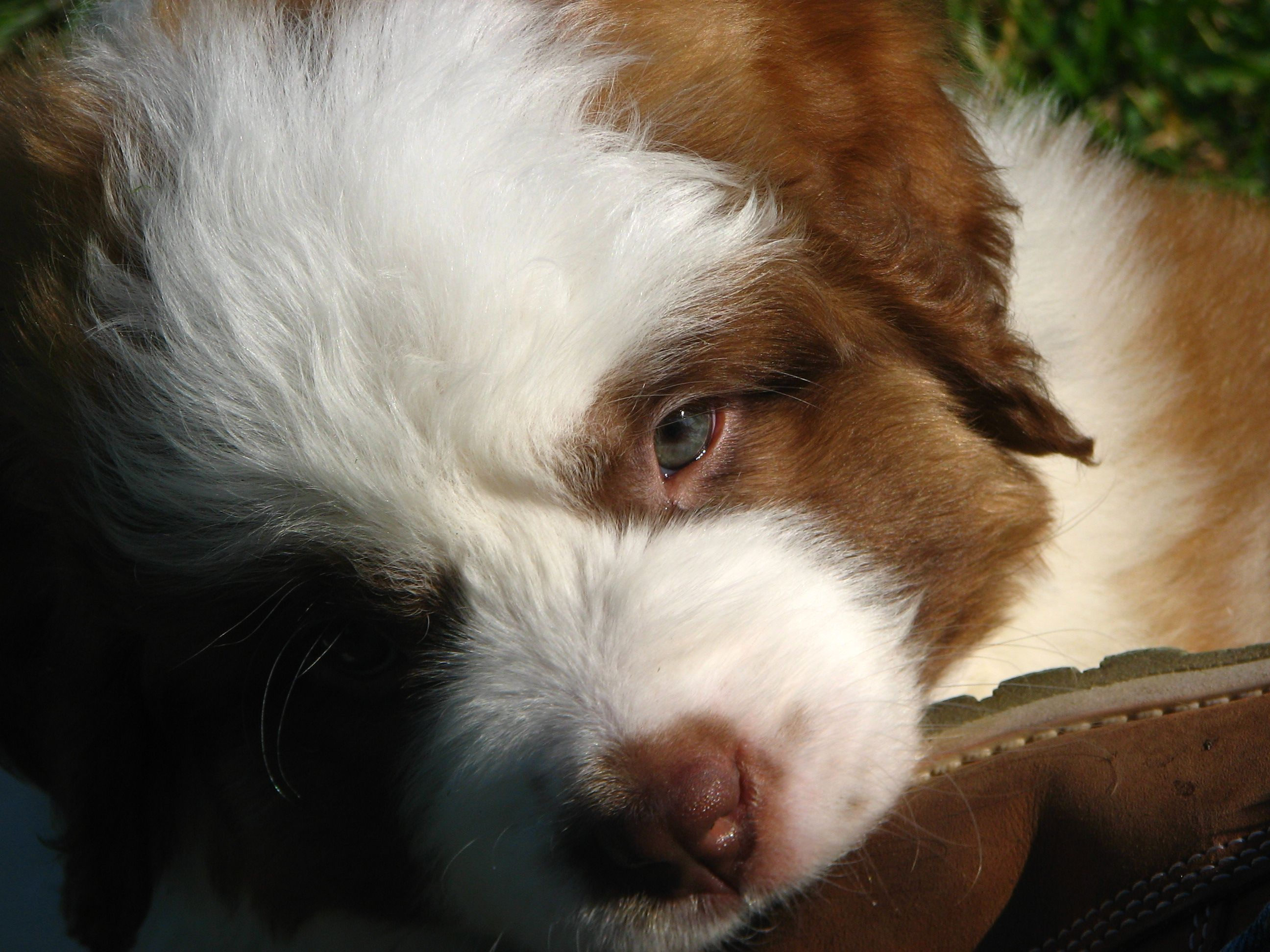Davinci the cutest St. Bernard Puppy ever.  Photo taken by Michel Hines-Skaggs