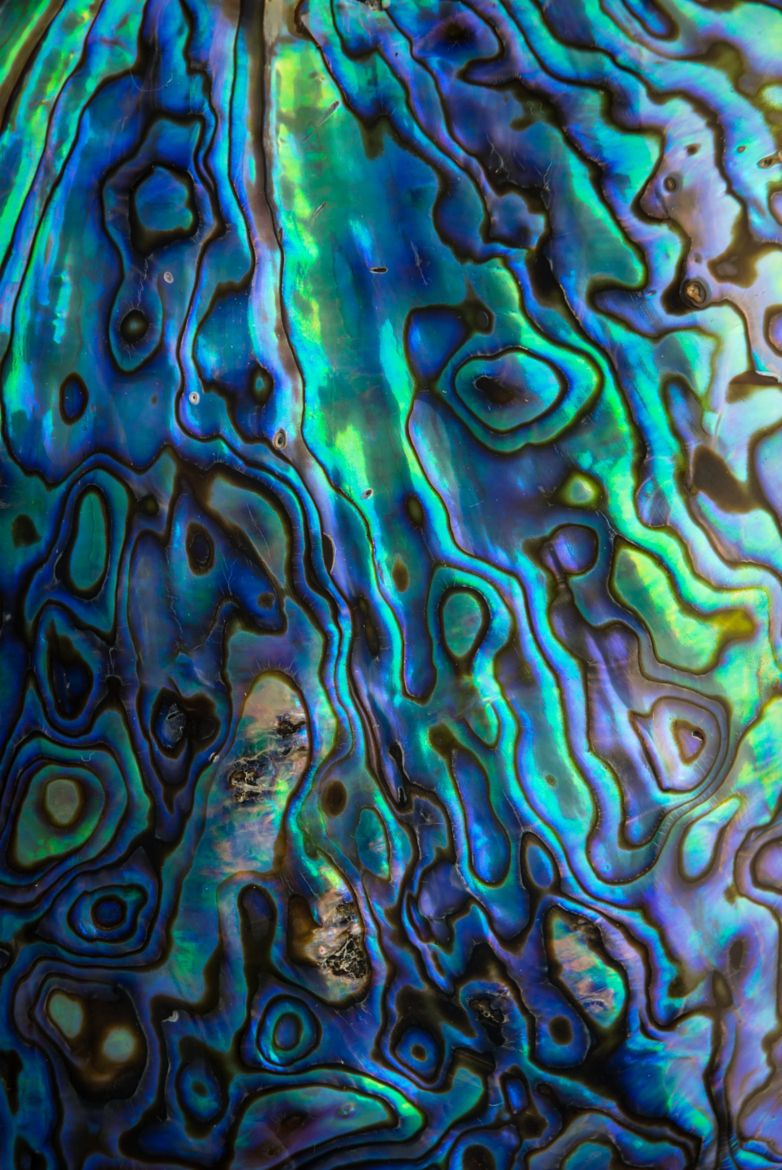 Paua Shell is related to the Abalone Shell. It is found