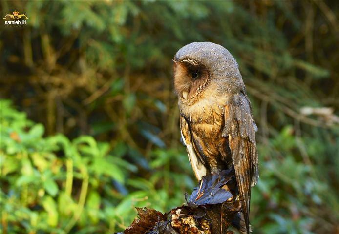Black Barn Owl (With images) | Zwierzęta