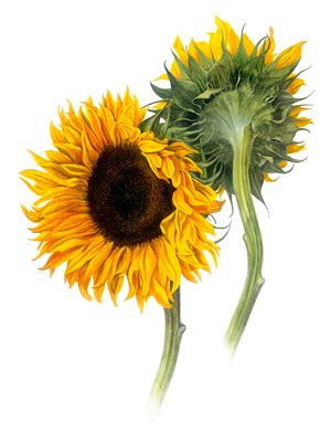 Sunflowers are bold, brightly colored and has so much ...