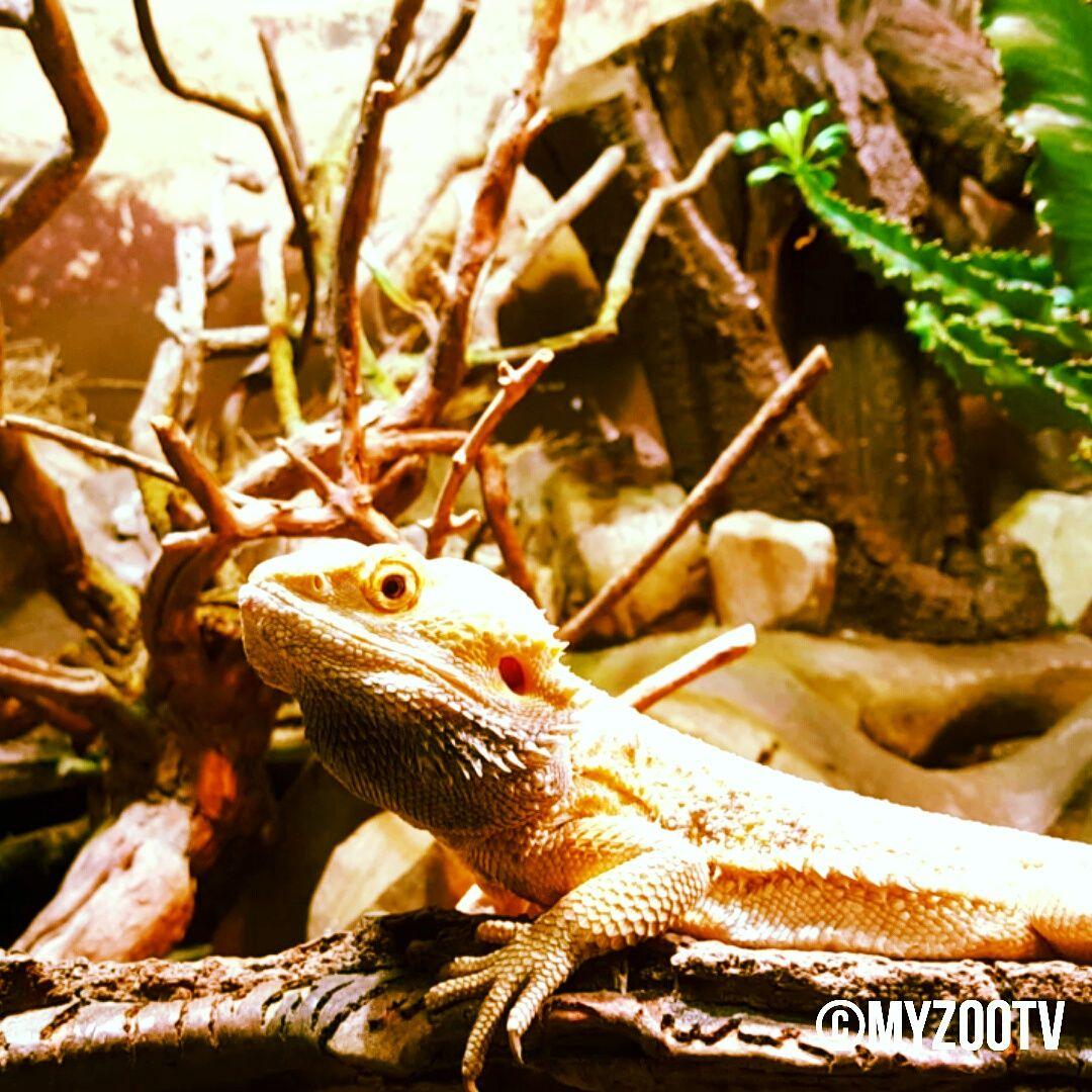 Ruhige Bartagame aus der Reptilienabteilung im Haus der Natur Salzburg  Relaxing bearded dragon at the Haus der Natur Salzburg