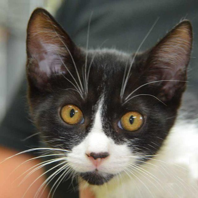Aaron Is A Six Month Old Male Domestic Medium Hair Is That An