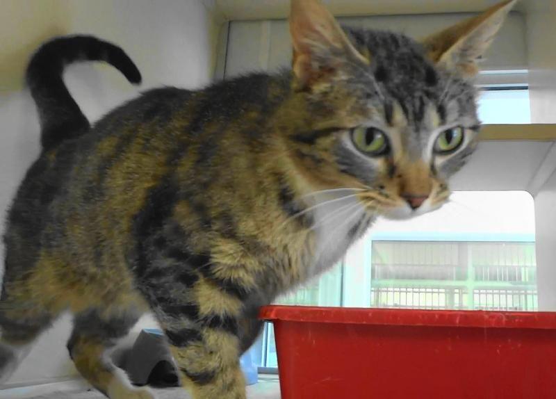 Adopt sweet pea on american shorthair cat american