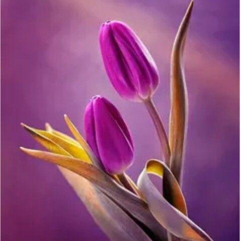 مع صباح يوم جديد يرفع فية أذان الفجر وتسمع صوت العصافير وتسمع أصوات الذاكرين من تسبيح واستغفار حتي تشرق ال Beautiful Flowers Purple Flowers Purple Tulips