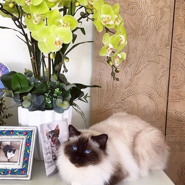 It's a #fancyfriday and sealpoint Billy  @rudiandbilly is enjoying the pretty flowers  #birmans #birman #sacredbirman #heligbirma #birmania #birmanie #pyhäbirma #instabirmans #birmansofinstagram #blueeyes #whitecats #fluffycats #instacats #catsofinstagram #cats #kittens #instakittens #kittensofinstagram #lovecats #birmavanner #tabbycats #toocute #beautifulcats #excellentcats #tortiecats #cutepetclub #sealpoint #brunmaskad #felinefriday