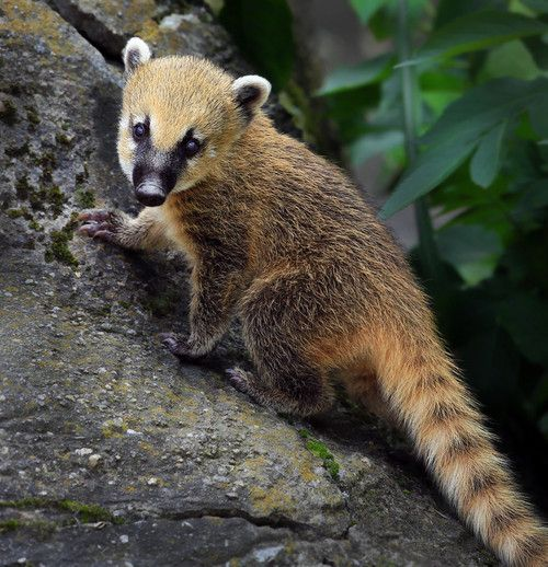 The South American Coati Or Ring Tailed Coati Nasua Nasua Is A