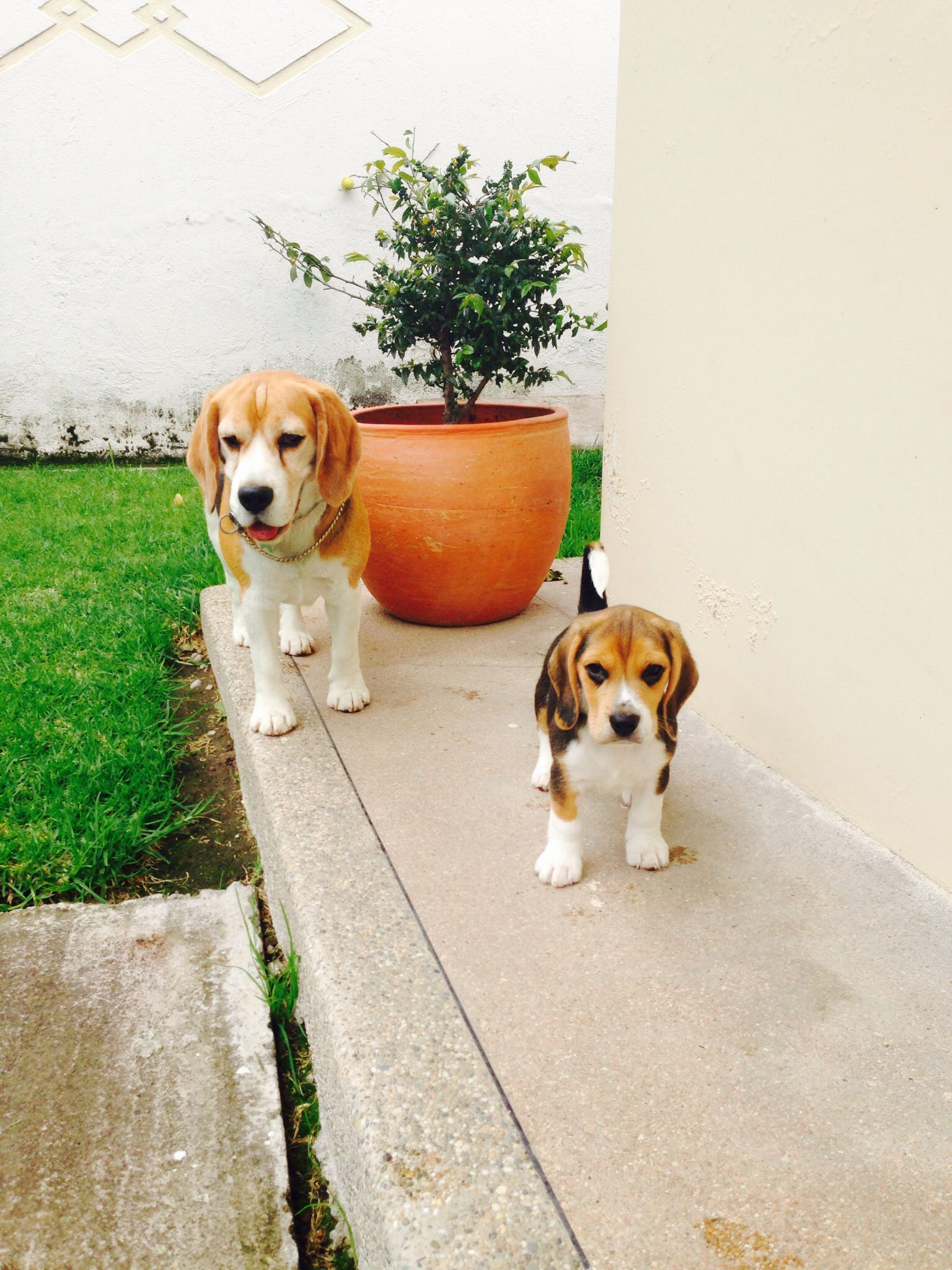 Beagles they are so cute!! beagle cutepuppypictureshd