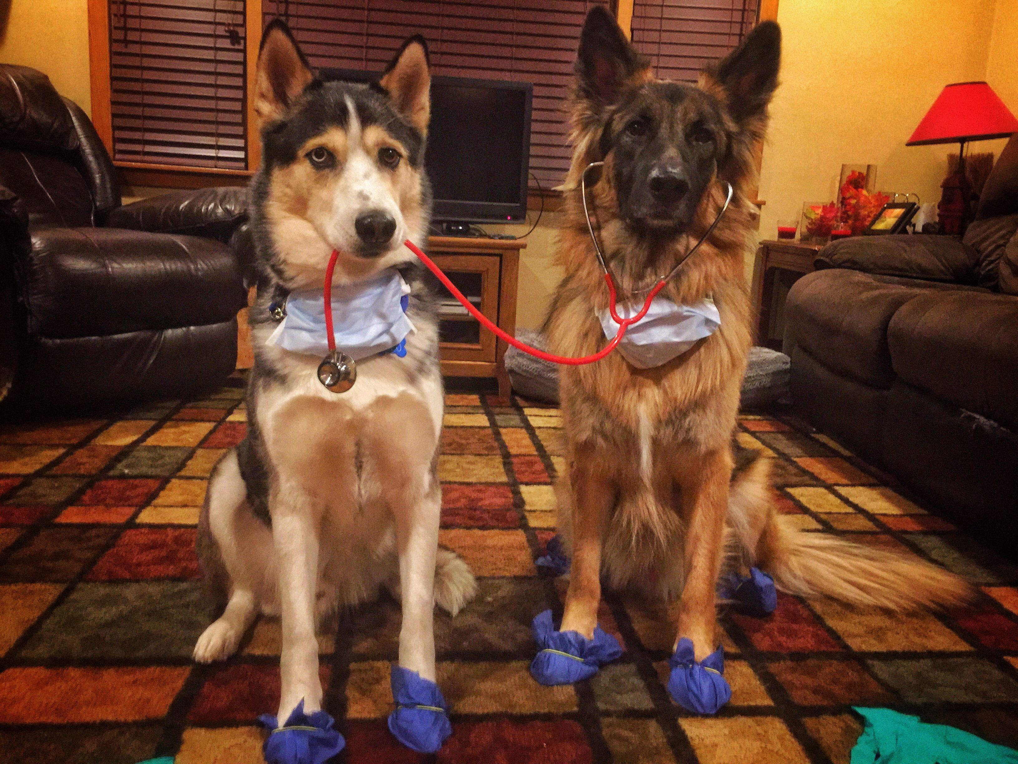 Pin by Kelsey Paige on DIY German shepherd dogs, Dogs