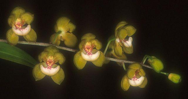 Graphorkis ecalcaratus 1 | Flickr - Photo Sharing!
