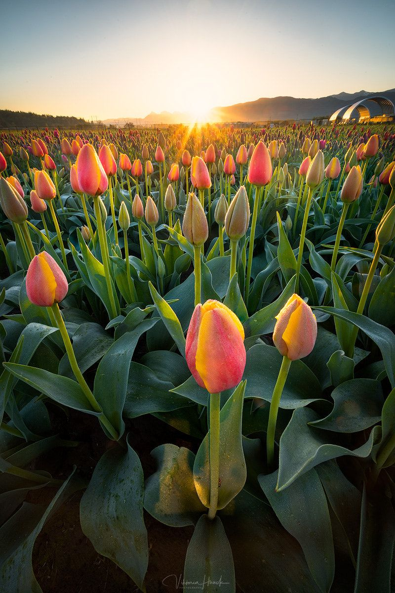 Sunrise In The Tulips I Only Just Made It Into The Field As The Sun Popped Over The Mountains So Lovely Tulips Garden Flowers Photography Beautiful Flowers