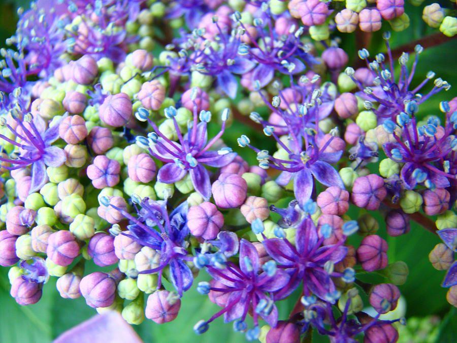 Blue Purple Hydrangea Flower Macro Art By Baslee Troutman Fine