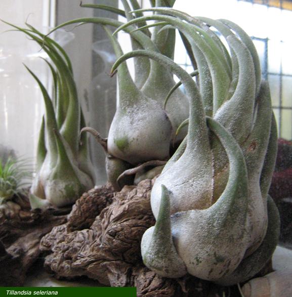 Vivero ex tica tillandsioidea tillandsia seleriana for Vivero de plantas exoticas