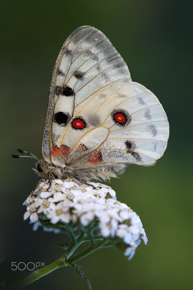 ~~Roter Apollofalter (Parnassius apollo) Butterfly by Bernd Flicker~~