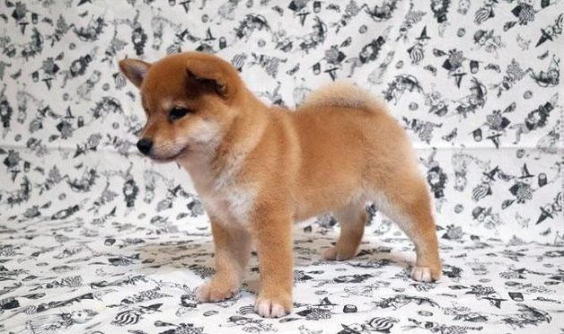 Shiba Inu Puppy For Sale In Los Angeles Ca Usa Adn 38609 On