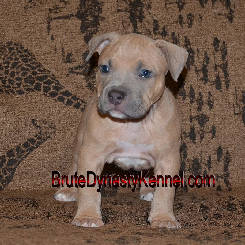 Pin On Bully Pit Bull Puppies