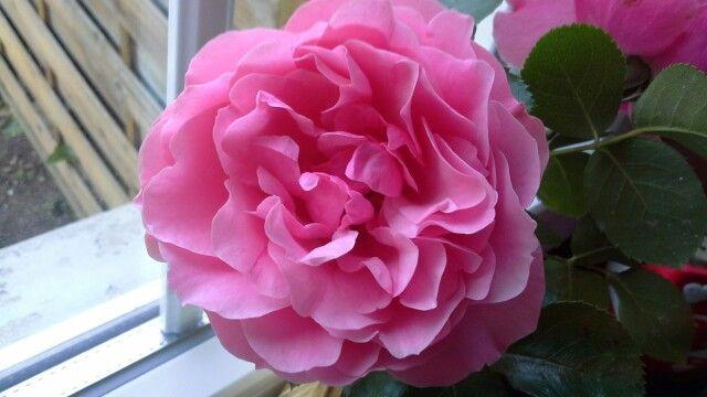 Mille fogli ,colre rosa pallido