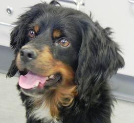 Adopt Winston On Cocker Spaniel Dog Skye Terrier Dog Adoption