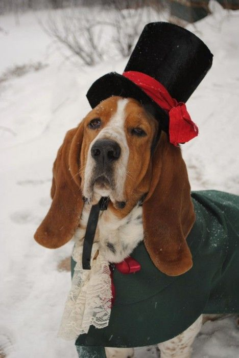 Wellington The Basset Hound Dressed Up Like A Dickensian Christmas