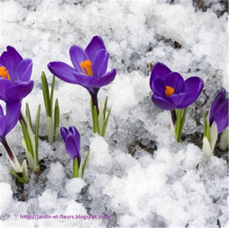 Fleurs d\'hiver | Fleur hiver, Planter des fleurs et Fleurs