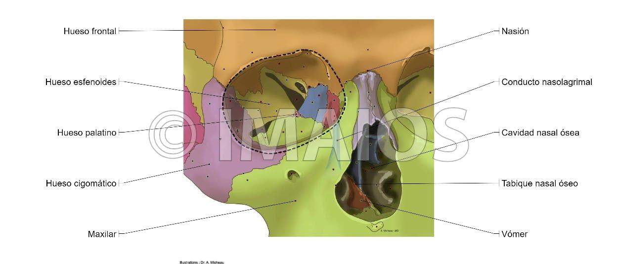 Cavidad orbitaria: Surco lagrimal, Fisura orbitaria superior, Fisura ...