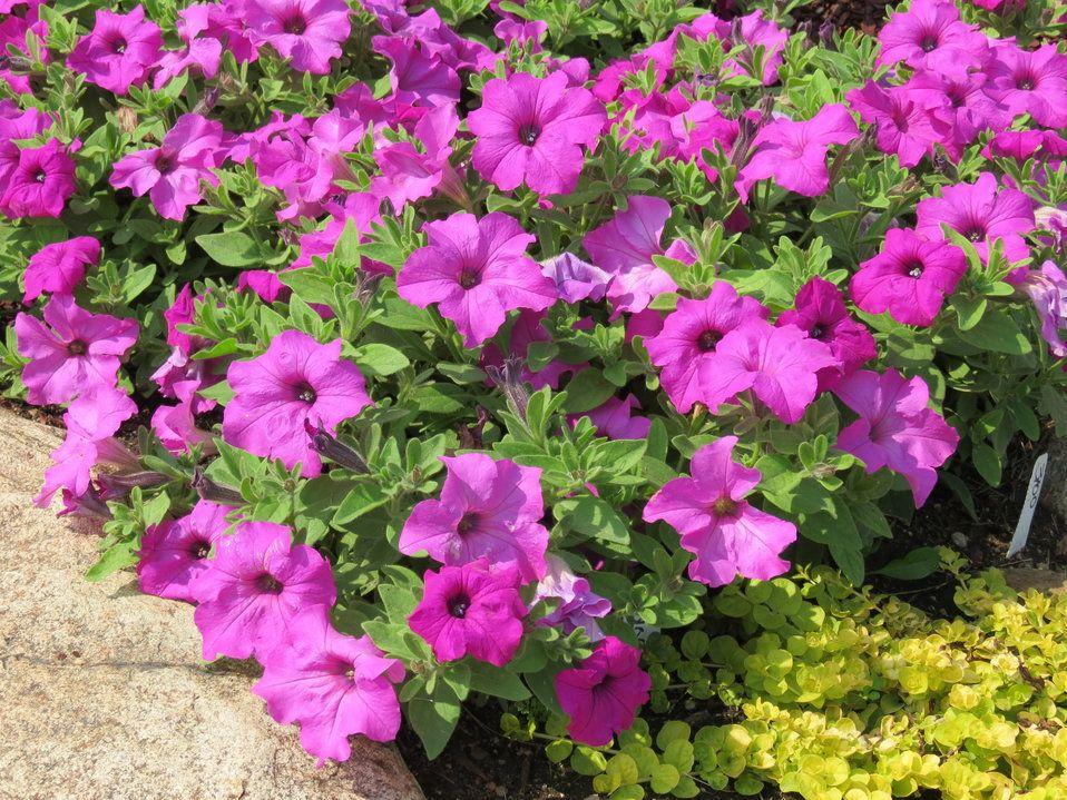 Surfinia Sumo Bold Lilac Petunia Hybrid Lilac Plant Petunias Plants