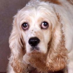 Adopt Beulah On Cocker Spaniel Dog Dogs Animals