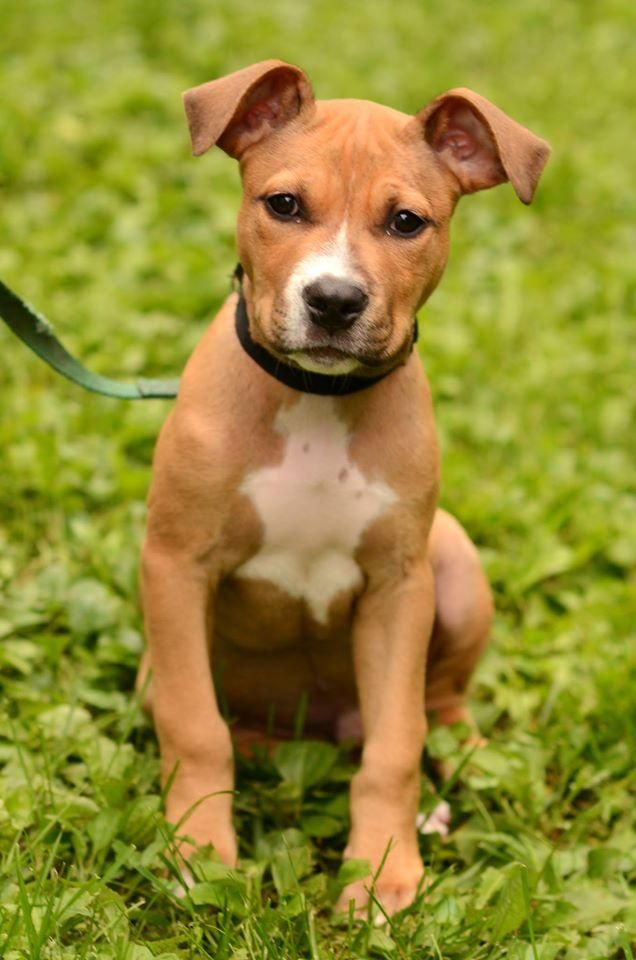 Adopt Heath On Pitbull Terrier Pitbull Rescue Terrier Mix Dogs