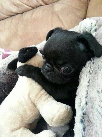 16 Pugs That Love To Hug Baby Pugs Cute Pugs Funny Animals