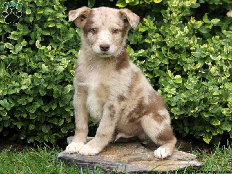 Badger Australian Shepherd Mix Miniature Puppy For Sale In